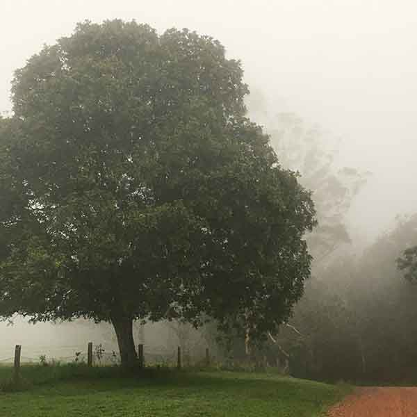 Large tree on side of road with fog covering the forest in background