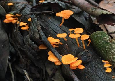 Orange fungi in the rainforest - Hazelmont Cottage